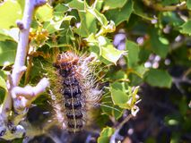 A hairy and colorful caterpillar gnawing a leaf on a tree