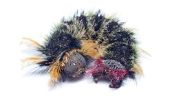 Hairy, colorful caterpillar Royalty Free Stock Images