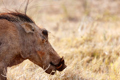 Hairy Common warthog ready to eat grass. In the field Royalty Free Stock Photo