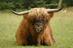 Hairy Coo Stock Image