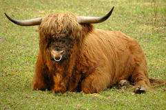 Hairy Coo. A Scottish Highland bull, resting in his pasture. Known as the 'Hairy coo' in Scotland Royalty Free Stock Photo