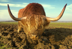 Hairy Coo. Close up of a Scottish highland cow showing the distinctive shaggy hair and horns stock photo