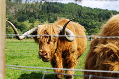 The Hairy Coo of Scotland Stock Photos