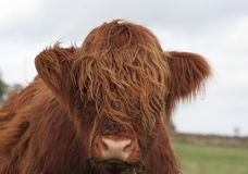 Hairy Cow. Wonderful head of a highland cow with shaggy hair royalty free stock photo