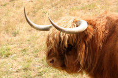 Hairy Cow. A scottish highland cow in NZ stock photos