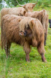 Hairy cow calf on green pasture in Scotland Royalty Free Stock Image