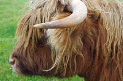 Hairy Cow. Close up of a hairy cow in the highlands of Scotland Stock Image