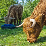 Hairy cow feeding. Two feeding hairy highland cows situated in a grazing pasture on a farm with the focus intentionally situated on the foreground cow Stock Photos