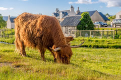 Hairy cow Royalty Free Stock Photography