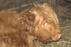 Hairy cow Royalty Free Stock Photos