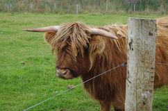 A hairy cow staring straight at camera from behind a fence post. Royalty Free Stock Image