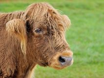 Hairy cow Stock Photos
