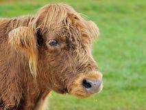 Hairy cow. Wonderful head of a highland cow with shaggy hair Stock Photos