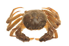 Hairy Crab From China Royalty Free Stock Photos