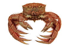 Hairy crab isolated on white. Boiled far east hairy crab isolated on white Royalty Free Stock Image