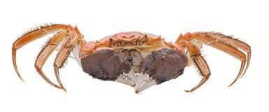 Hairy crabs  isolated on white background Royalty Free Stock Image