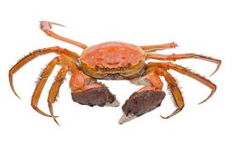 Hairy crabs  isolated on white background Stock Photos