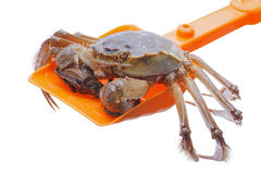 Hairy crabs on the shovel isolated in white Stock Images