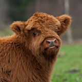 Hairy cute calf of highland cattle Stock Image