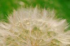 Hairy dandelion Royalty Free Stock Images