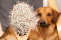 Hairy dog brush. Pet Grooming, Close up, dog in a background Stock Photos