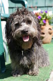 Hairy dog Royalty Free Stock Images