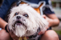 Hairy dog in pouch Royalty Free Stock Photography