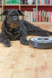 Hairy dog and the robotic vacuum cleaner. Stock Photos