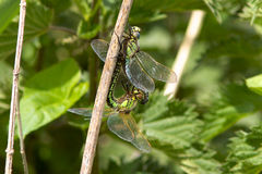Hairy Dragonflies Mating. Stock Photos