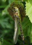 Hairy Dragonfly Stock Photos