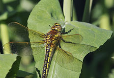 Hairy Dragonfly Stock Image