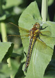 Hairy Dragonfly Royalty Free Stock Image