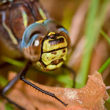 Hairy dragonfly Royalty Free Stock Images