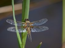 A Hairy dragonfly. Hairy Dragonfly resting on a reed in the stream stock images