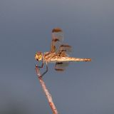 Hairy dragonfly Stock Photography