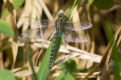 A Hairy Dragonfly in the sunshine. A Hairy Dragonfly, Brachytron pratense, resting in the sunshine on a leaf stock photography