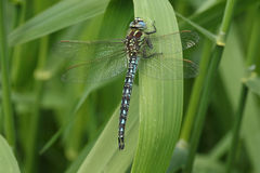 Hairy Dragonfly (Brachytron pratense)resting on a reed. Stock Photos