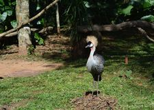 Hairy exotic big bird from brazil. Park at Foz Do Iguazú, sitting on a pile of wood branches Royalty Free Stock Images