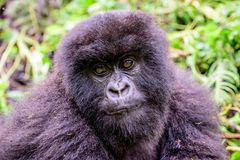 Furry face of a juvenile mountain gorilla Royalty Free Stock Photos