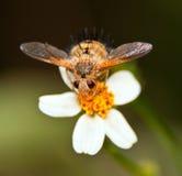 Hairy flying bug Royalty Free Stock Photos