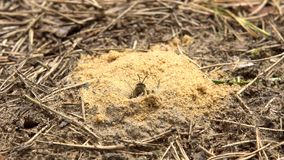 Hairy-Footed Flower Bee Anthophora plumipes slowly leaks out the hole in sand. 4K stock video footage