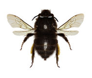 Hairy-footed Flower Bee on white Background. Anthophora plumipes Pallas,1772 royalty free stock photos