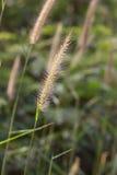 Hairy fountain grass flower Royalty Free Stock Photos