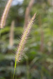Hairy fountain grass flower Stock Image