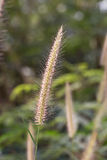Hairy fountain grass flower Stock Photography