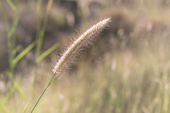 Hairy fountain grass flower Stock Images