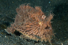 Hairy frogfish Stock Images