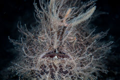 Hairy Frogfish Stock Photo