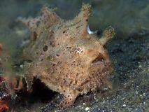 Hairy frogfish Royalty Free Stock Photo
