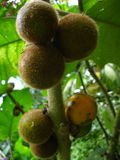 Hairy fruits Royalty Free Stock Images